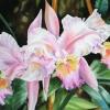 Pale Pink Orchid.Watercolour.22×30