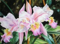 Pale Pink Orchid.Watercolour.22×30